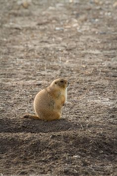 Fun Friday: Plump Little Doggie - Black-tailed Prairie Dog (Cynomys ludovicianus) in Badlands, S. Dakota   Show Me Nature Photography