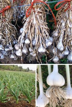 Storing your garlic properly is important to maximize the shelf life of the garlic. Remove the majority of the soil and tie the stems together in clumps of about Be sure to keep the different varieties identified and marked. Hang the bulbs out of the direct sunlight in a barn or shed and allow them the dry for 2-3 months. After they've dried, you can cut off the stem - about one inch above the bulb. Put your dried garlic in paper bags. Store in a cool, dry, dark area. Garlic Farm, Planting Garlic, Organic Garlic, Paper Bags, Shelf Life, Stems, 3 Months, Farming