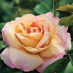 """""""Peace"""" hybrid tea rose, Jackson & Perkins"""