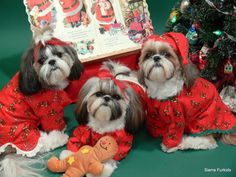 Shih Tzu Breed Christmas Card and New Year Card by furkids3, $3.00