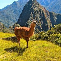 Just a lazy llama overlooking Machu Picchu. #machupicchu #llama #peru #doyoutravel