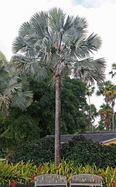 International Palm Society Bismark palm
