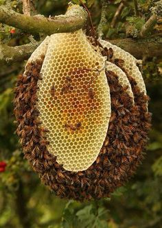 Culmination of Callousness - against the free flow bee hives.