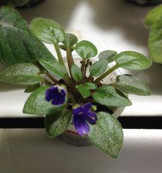 [IMG] Saintpaulia, Plants, Princesses, Flowers, African Violet, Plant, Planets