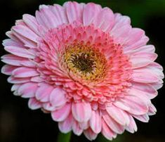 Usa Seller Pacific Rim Gerbera Daisy 10 Seeds Gerbera Daisy Seeds, Gerbera Daisies, Pacific Rim, Usa, Plants, Pacific Coast, Plant, Planting, Planets