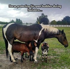 #goatvet loves this photo- a horse protecting goat pals from the hailstorm