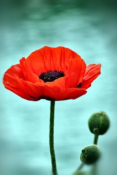 Just a simple red poppy. • Also buy this artwork on wall prints, home decor, stationery und more.