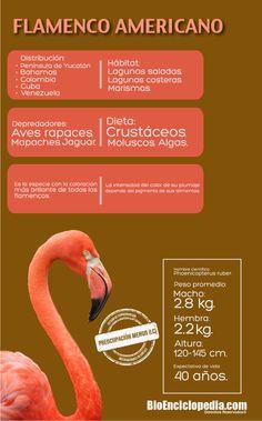 #Flamenco Americano