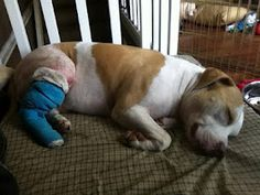 Our friend, Leasha, has a handsome rescue dog named Chevy.  He just had his first knee surgery for his torn ACL!  We wish you a speedy recovery!