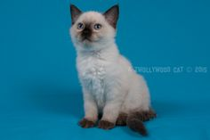 2015: Loki A Zwollywood Cat. 9 Weeks old. Ragdoll kitten, seal colourpoint. Dark world litter.