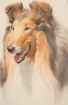 A study of a collie dog In coloured crayon Contemplation Collie Puppies, Collie Dog, Dogs And Puppies, Border Collie, Doggies, Animal Sketches, Animal Drawings, Rough Collie, Shetland Sheepdog