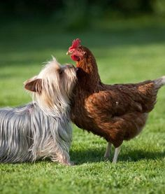Dunno why it has the ADORABLE YORKIE & hen with a link to whatever.... BUT LOOOOOOOOOK SO FUKIN CUTE! my yorkies would have NEVER been that sweet with a hen. Nope! That's dinner