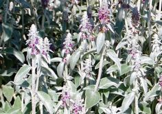Growing Lamb's Ear: How To Plant Lamb's Ears