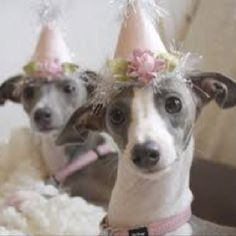 Pet birthday hats