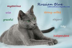 The Russian Blue is solid grey with bright green eyes...