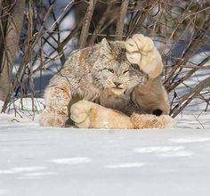 A Canada Lynx. Look at the size of those paws. - Imgur