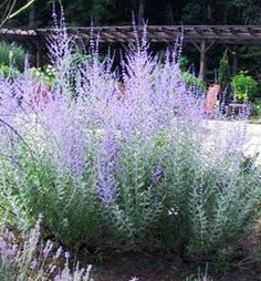 Russian Sage We can't help but love Russian sage. One of the toughest plants, it offers fragrant silvery foliage and plumes of violet-purple blooms. Taller varieties are great for the back of the border. Not only is it heat and drought resistant, but deer, rabbits, and most other pests steer clear of it. Name: Perovskia atriplicifolia Conditions: Full sun and well-drained soil Size: To 6 feet tall Zones: 5-9