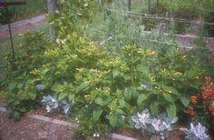 Plant photo of: Mirabilis jalapa