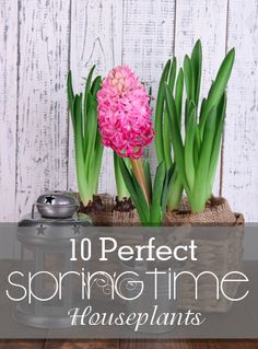 10 Perfect Springtime Houseplants. I'm ready for spring gardening and spring plants.  Cute ideas for indoor spring plants