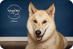 Keyport, NJ - Shepherd (Unknown Type)/Shepherd (Unknown Type) Mix. Meet Lady Athena, a dog for adoption. http://www.adoptapet.com/pet/13049296-keyport-new-jersey-shepherd-unknown-type-mix
