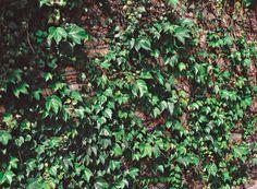 Uma alternativa à unhade- gato é a trepadeira falsavinha (Parthenocissus tricuspidata), de crescimento rápido e com raízes inofensivas.