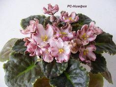 РС Нимфея  крупные цветы, 6 см. Основной тон лепестков практически белый, с легкой розовинкой теплого оттенка.  Цветение обещает быть очень обильным; короткие крепкие цветоносы с первого цветения, аккуратная и довольно компактная розетка.
