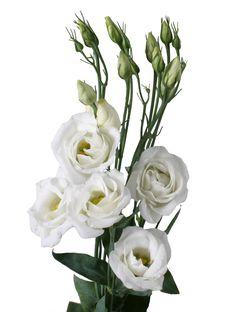 Rosita white