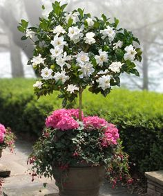 Gardenia Tree in small fragrant garden ~ Fragrant Flowers for Containers Gardenia Roses Nicotiana Jasminum Sambac Chocolate Cosmos Peony Sweet Autumn Clematis Lily of the Valley Four o' Clock Lantana Sarcococca Daphne Freesia