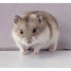 My Hammie! ❤ liked on Polyvore featuring animals, hamsters and backgrounds