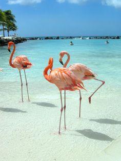 #Flamingos #Aruba #Relax #Beach #Vacations #Beauty #Nature