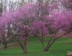 Love the color of redbud blossoms. Native Indians used the branches for basket weaving.