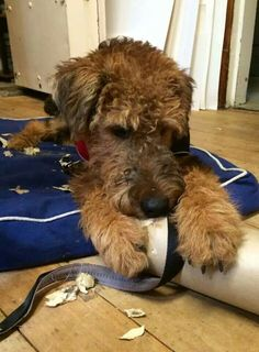 My Airedale ripped up everything when she was a pup!