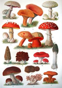 love the fungi - Mushroom Paintings Mushroom Art, Mushroom Fungi, Mushroom House, The Magic Faraway Tree, Botanical Prints, Vintage Prints, Kitsch, Decoupage, Stuffed Mushrooms