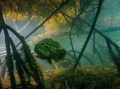 Cernia gigante Fotografia di David Doubilet, National Geographic  Questa cernia goliath nelle paludi, Florida Keys, può passare i suoi primi cinque anni tra le mangrovie, relativamente al sicuro dai predatori, prima di avventurarsi fuori per le barriere coralline.