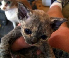 Devon Rex baby! They are my favorite breed by far. ♥♥♥