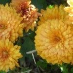 Chrysanthemum flowers are a classic addition to brighten the autumn garden. Growing mums is not complicated once you learn the basics of chrysanthemum care. This article can help with that.