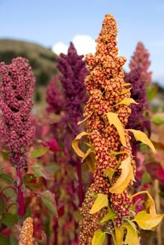 This is a detailed overview of quinoa nutrition facts. Were breaking down the health benefits of quinoa whether quinoa is really healthy and much Healthy Filling Meals, Filling Food, Healthy Foods, Dinner Healthy, Quinoa Nutrition, Growing Quinoa, Growing Herbs, Natural Fertility Info, Gardens