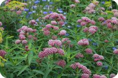 Milkweed - a favourite of monarch butterflies - garden tour discoveries.