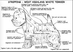 Dog Grooming Styles, Grooming Dogs, Dog Haircuts, Dog Grooming Business, White Terrier, Westies, Scottie, Shih Tzu, Yorkie