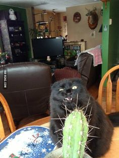 This cat has a thing for cactuses. Ermergerhd Kakkterrs