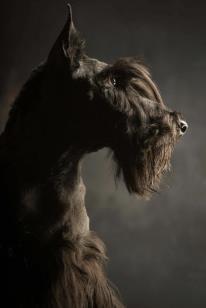 Scottish Terrier - good picture