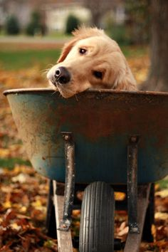 Dog in A Wheelbarrow | Content in a Cottage