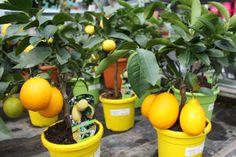 Citroenboompje met vrucht