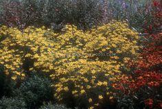 Coreopsis verticillata & Helenium GR525   Plant & Flower Stock Photography: GardenPhotos.com