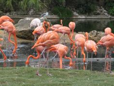 No Florida Photo album would be complete without a feeding flock of flamingoes