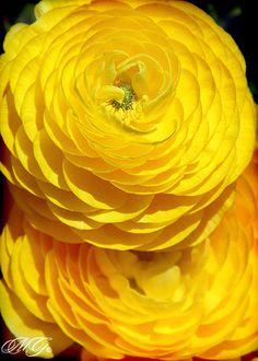 A Taste of What I Will See Tomorrow - Yellow Ranunculus, Corona del Mar, New Port Beach, California
