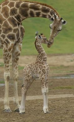 Cute Baby Animals, Animals And Pets, Funny Animals, Wild Animals, Giraffe Pictures, Animal Pictures, Beautiful Creatures, Animals Beautiful, Mundo Animal