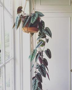 # for # green indoor hanging – House Plants Hanging Plants, Potted Plants, Garden Plants, Indoor Plants, Foliage Plants, Diy Hanging, Vegetable Garden, Decoration Plante, Home Decoration
