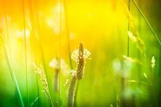Jitrocelový sirup je skvělý pomocník, který oceníte během celého roku. Dandelion, Fruit, Flowers, Plants, Dandelions, Florals, Planters, Taraxacum Officinale, Plant