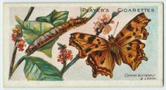 The Comma butterfly (Polygonia c-album) & larva.